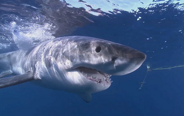 Sharks Take a Bite Out of Disease