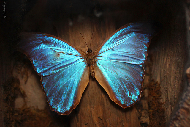 Shine Bright Like a Morpho